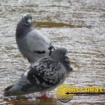 pigeon1-watermarked-accurat