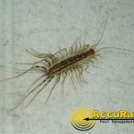 cenepede-watermarked-accurat-photo74